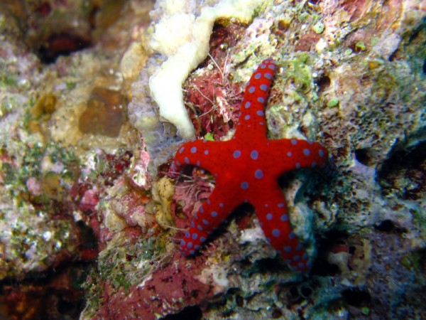 Ghardaqa zeester   Ghardaqa sea star   Fromia ghardaqana   Gota Abu Ramada Oost   24-01-2011