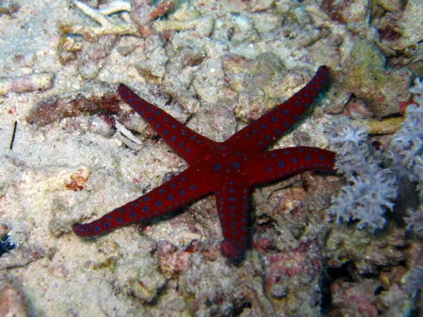 Ghardaqa zeester | Ghardaqa sea star | Fromia ghardaqana | Shaabrurh Umm Gamar | 21-01-2011