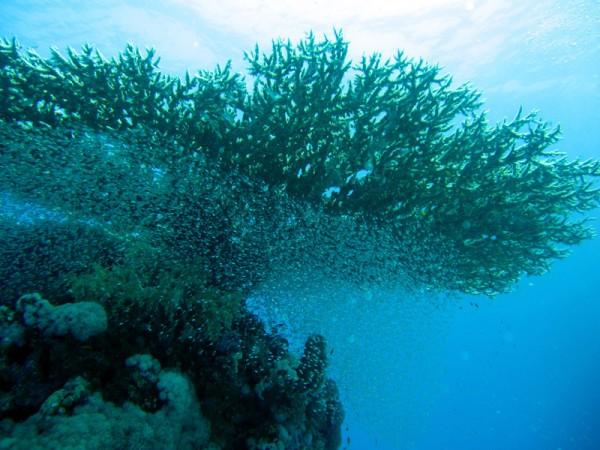 Glasvisjes (Golden sweeper | Parapriacanthus ransonneti) onder tafelkoraal (Table coral | Acropora pharaonis) | Ben el Gebel | 21-09-2009