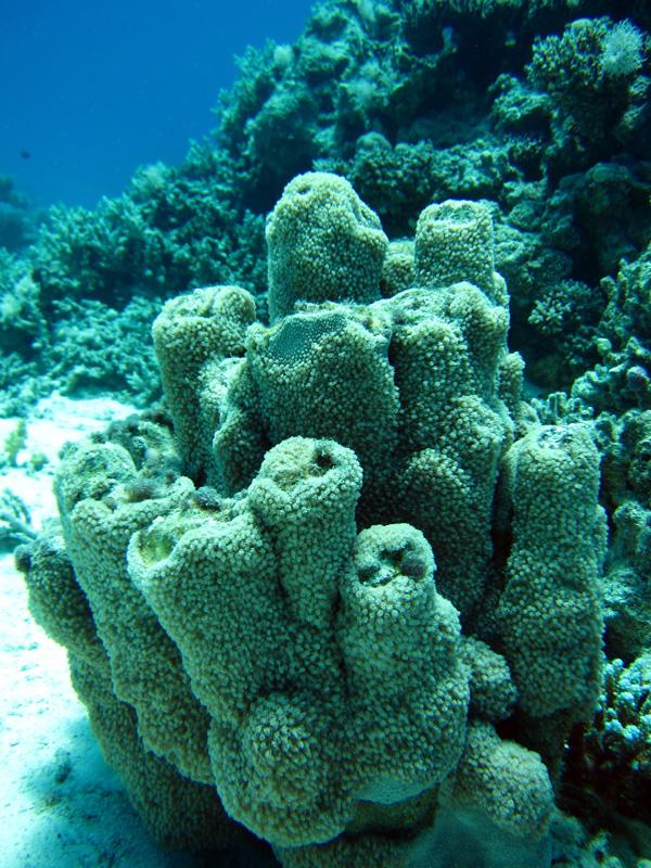 Bloempotkoraal   Flowerpot coral   Goniopora planulata   Shaab Sabina   08-05-2011