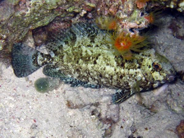 Goudgestreepte konijnvis (slapend) | Rivulated rabbitfish | Siganus rivulatus | Fanadir Zuid (nachtduik) | 19-09-2009