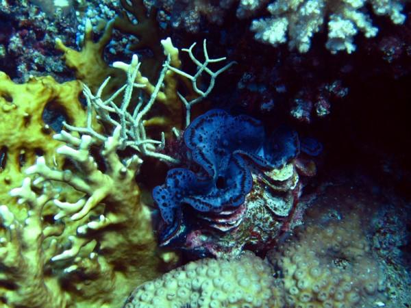 Gravende doopvondschelp | Maxima clam | Tridacna maxima | Erg Abu Ramada | 22-09-2009
