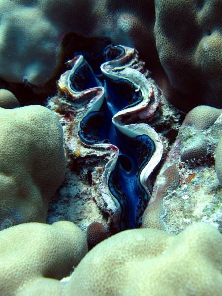 Gravende doopvondschelp   Maxima clam   Tridacna maxima   Gota Abu Ramada Oost   26-03-2010