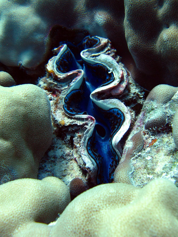 Gravende doopvondschelp | Maxima clam | Tridacna maxima | Gota Abu Ramada Oost | 26-03-2010