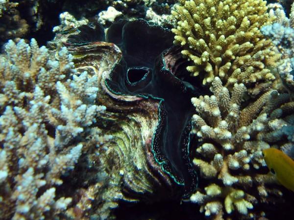 Gravende doopvondschelp   Maxima clam   Tridacna maxima   Turtle Bay   27-06-2010