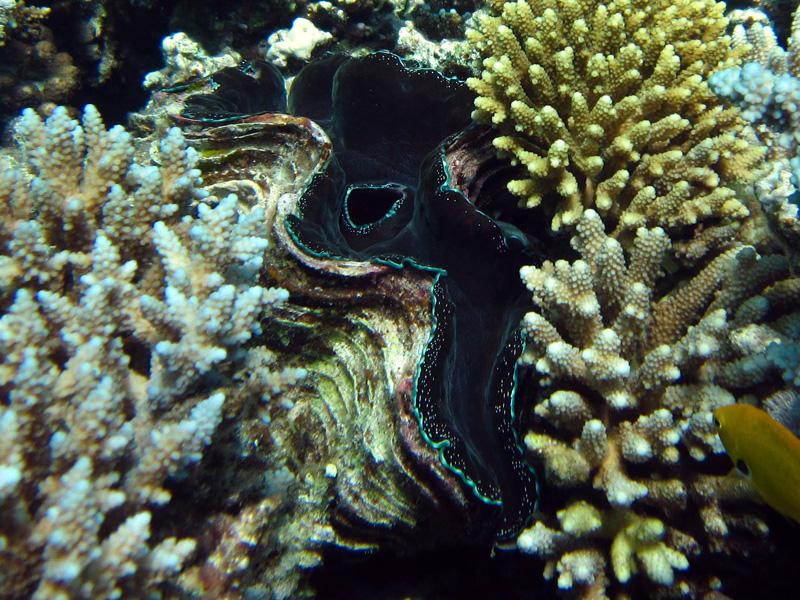 Gravende doopvondschelp | Maxima clam | Tridacna maxima | Turtle Bay | 27-06-2010