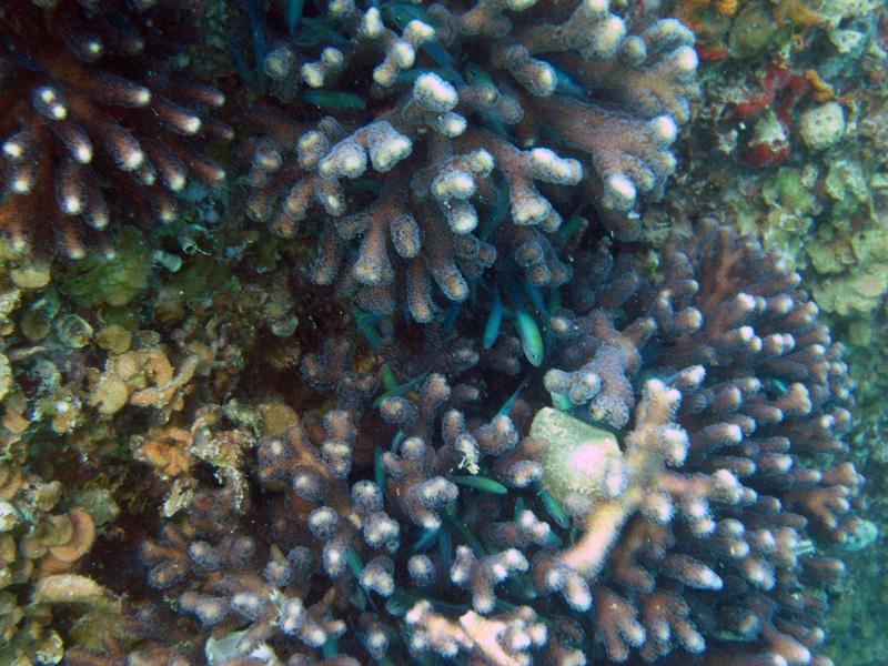 Griffelkoraal | Smooth cauliflower coral | Stylophora pistillata | Balena | 14-09-2009