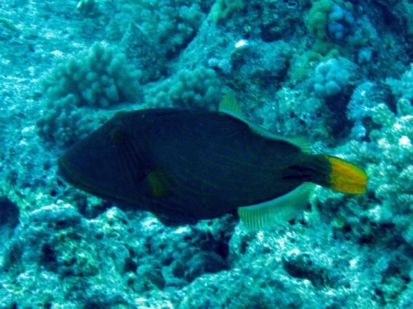 Groene trekkervis   Orange-striped triggerfish   Balistapus undulatus   Abu Ramada Zuid   22-03-2010