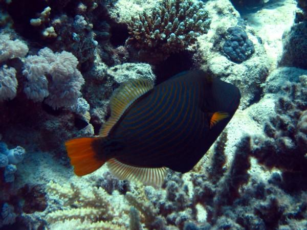 Groene trekkervis   Orange-striped triggerfish   Balistapus undulatus   Turtle Bay   27-06-2010