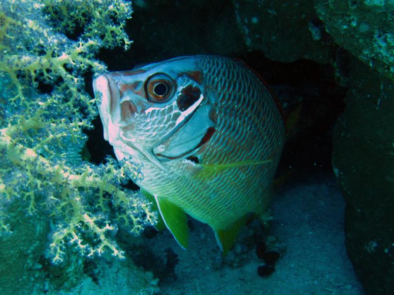 Grootdoorn-eekhoornvis | Longjawed squirrelfish | Sargocentron spiniferum | Erg Abu Ramada | 22-09-2009