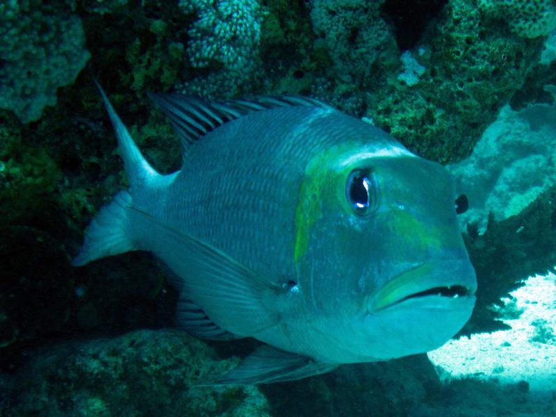 Grootoogstraatveger | Bigeye emperor | Monotaxis grandoculis | Small Giftun | 28-06-2010
