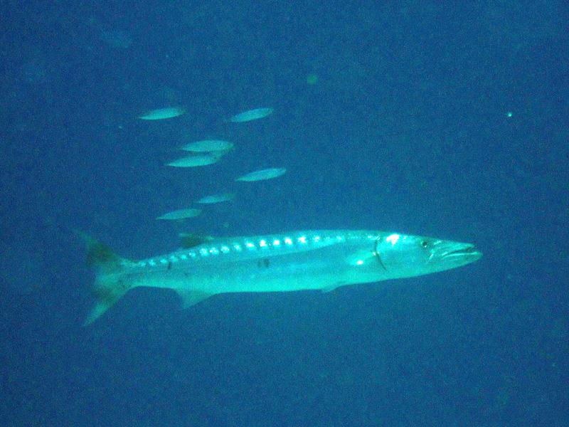Grote barracuda   Great barracuda   Sphyraena barracuda   Ben El Gebel   26-06-2010
