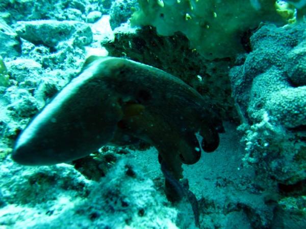 Grote rode octopus | Big blue octopus | Octopus cyaneus | Fanadir Noord | 23-03-2010
