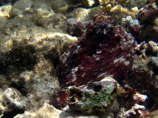 Grote rode octopus   Big blue octopus   Octopus cyaneus   Marsa Abu Galawa (Snorkeltrip)   29-06-2010