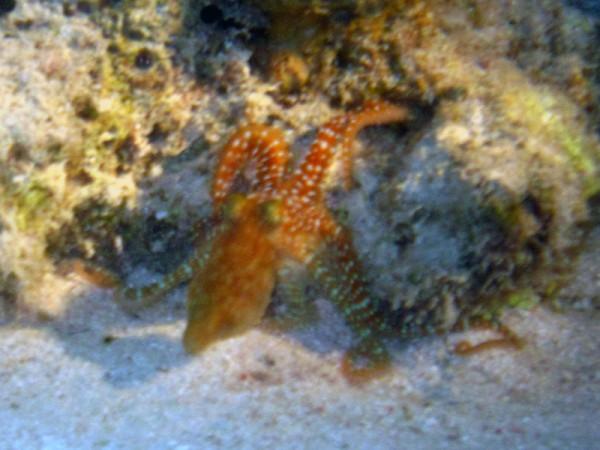 Grote rode octopus (juv) (ook wel Rifoctopus)   Reef octopus   Octopus cyaneus   Fanadir Noord - Nachtduik   15-09-2009