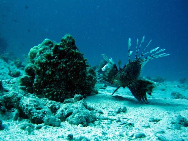 Grote rode octopus & Indische koraalduivel | Big blue octopus & Common lionfish | Octopus cyaneus & Pterois miles | Fanadir Noord | 23-03-2010