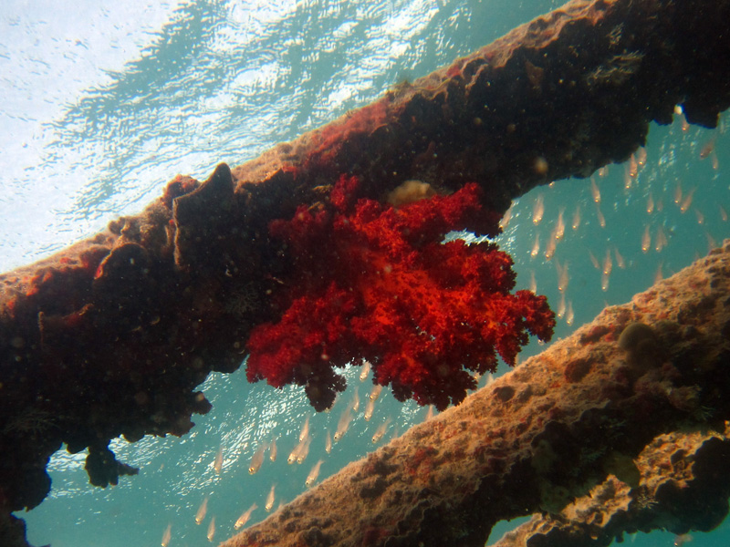 Hemprichs zacht koraal | Vibrant Soft Broccoli coral | Dendronephthya hemprichi | Balena | 14-09-2009