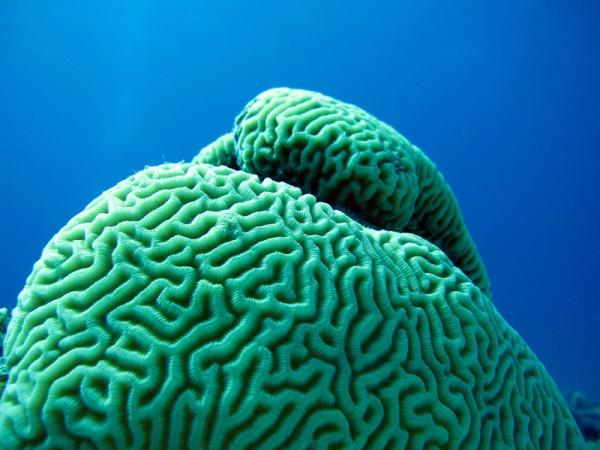 Hersenkoraal   Maze brain coral   Platygyna daedalea   Bananareef   08-05-2011