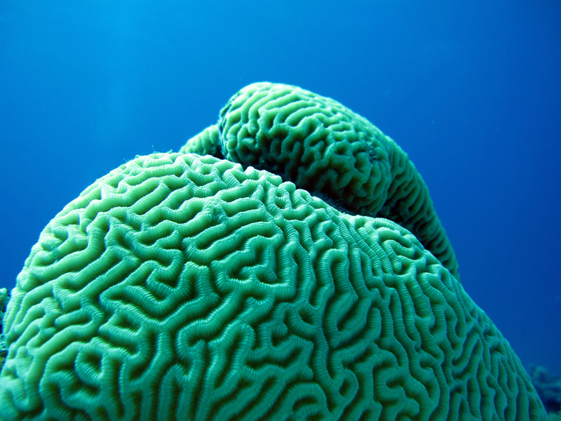 Hersenkoraal | Maze brain coral | Platygyna daedalea | Bananareef | 08-05-2011