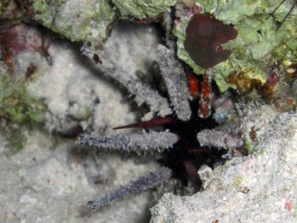 Keizerzee-egel | Imperial urchin | Phyllancanthus imperialis | Fanadir Noord (Nachtduik) | 15-09-2009