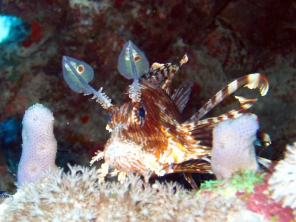 Indische koraalduivel   Common lionfish   Pterois miles   Abu Ramada Zuid   15-09-2009