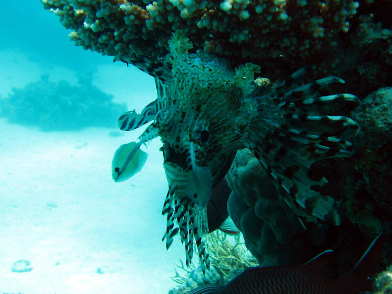 Indische koraalduivel | Common lionfish | Pterois miles | Abu Ramada Zuid | 26-06-2010