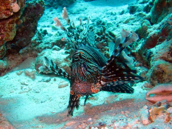 Indische koraalduivel | Common Lionfish | Pterois miles | Ben el Gebel | 21-09-2009