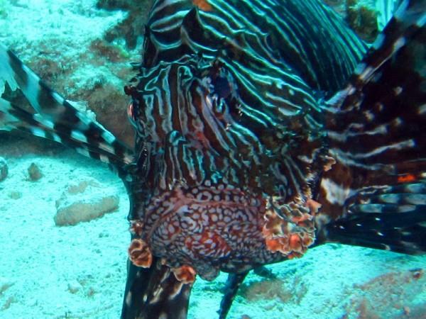 Indische koraalduivel   Common Lionfish   Pterois miles   Ben el Gebel   21-09-2009