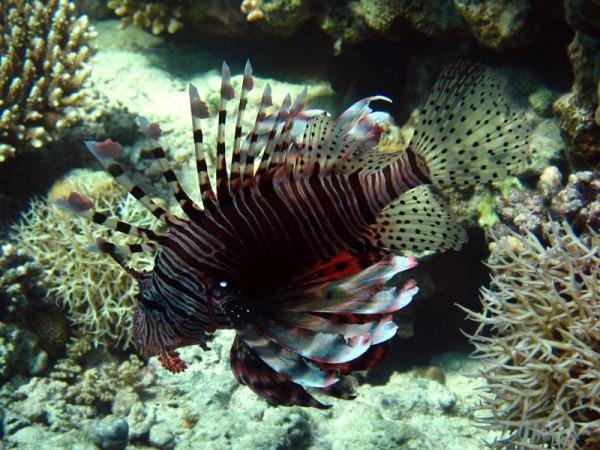 Indische koraalduivel   Common lionfish   Pterois miles   Shaabrurh Umm Gamar   21-01-2011