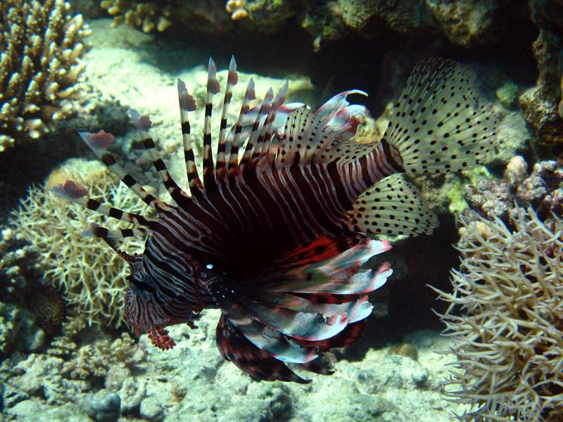 Indische koraalduivel | Common lionfish | Pterois miles | Shaabrurh Umm Gamar | 21-01-2011