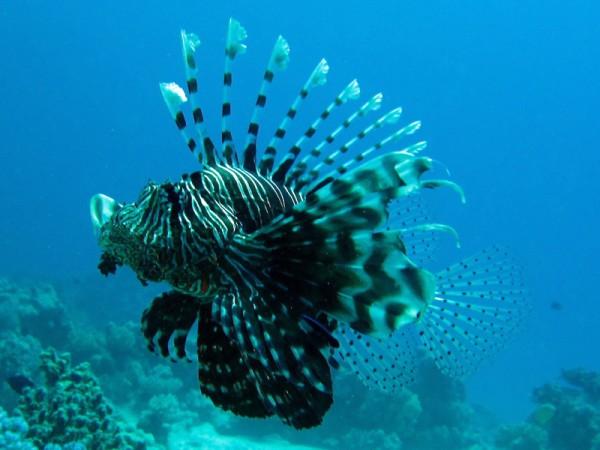 Indische koraalduivel | Common lionfish | Pterois miles | Small Giftun | 28-06-2010