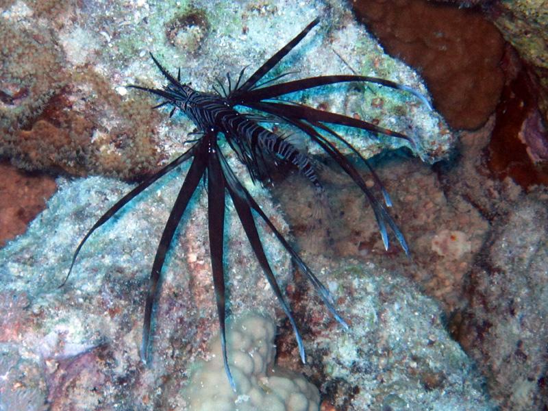 Indische koraalduivel   Common Lionfish   Pterois miles   Shaab Ayman > Cave Abu Ramada   17-09-2009