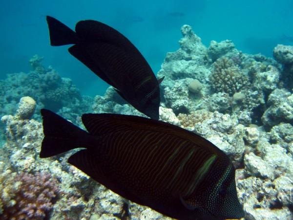 Indische zeilvindoktervis | Sailfin tang | Zebrasoma desjardinii | Small Giftun | 23-09-2009