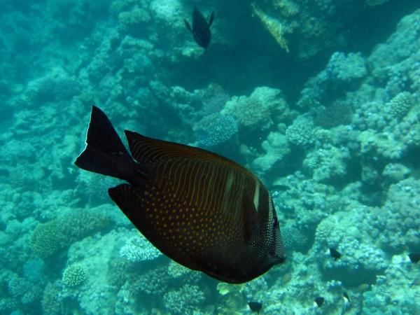 Indische zeilvindoktervis | Sailfin tang | Zebrasoma desjardinii | Small Giftun | 28-06-2010