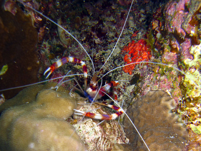 Kappersgarnaal | Banded coral shrimp | Stenopus hispidus | Fanadir Zuid | 25-06-2010