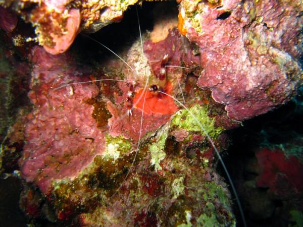 Kappersgarnaal   Banded coral shrimp   Stenopus hispidus   Shaab Sabina   25-03-2010
