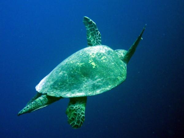 Karetschildpad   Hawksbill turtle   Eretmochelys imbricata   Abu Ramada Noord   22-09-2009