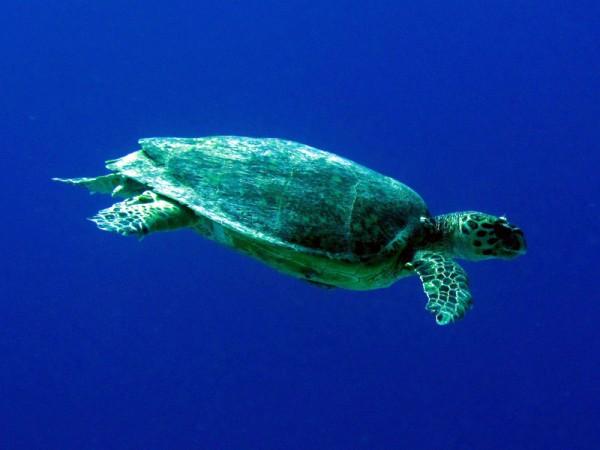 Karetschildpad | Hawksbill turtle | Eretmochelys imbricata | Bananareef | 25-03-2010