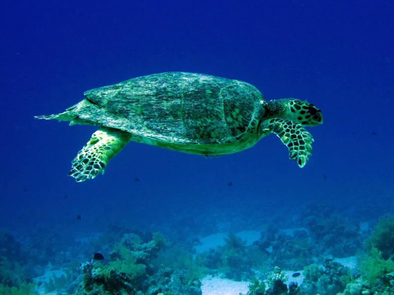 Karetschildpad | Hawksbill turtle | Eretmochelys imbricata | 25-03-2010