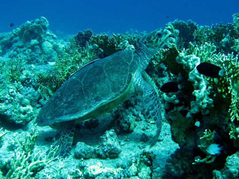 Karetschildpad | Hawksbill turtle | Eretmochelys imbricata | Erg Abu Ramada > Cave Abu Ramada | 24-03-2010