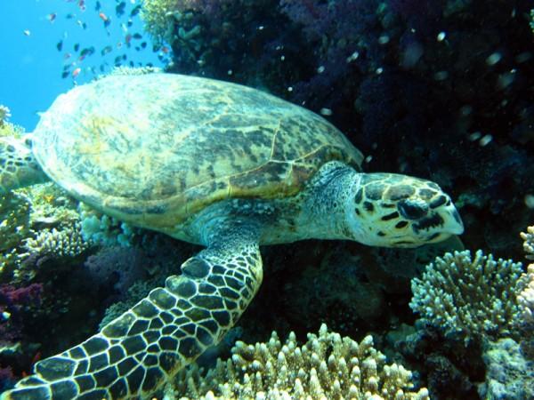 Karetschildpad   Hawksbill turtle   Eretmochelys imbricata   Gota Abu Ramada Oost   26-03-2010
