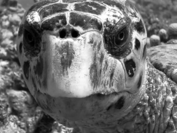 Karetschildpad | Hawksbill turtle | Eretmochelys imbricata | Shaab Sabina | 25-03-2010