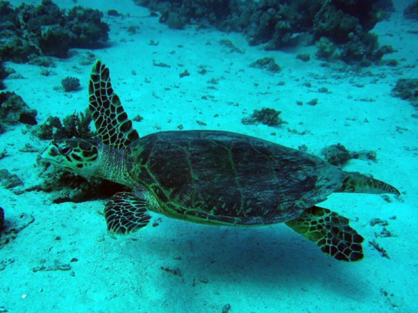 Karetschildpad   Hawksbill turtle   Eretmochelys imbricata   Small Giftun   23-01-2011