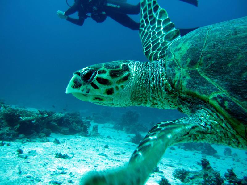 Karetschildpad | Hawksbill turtle | Eretmochelys imbricata | Small Giftun | 23-01-2011