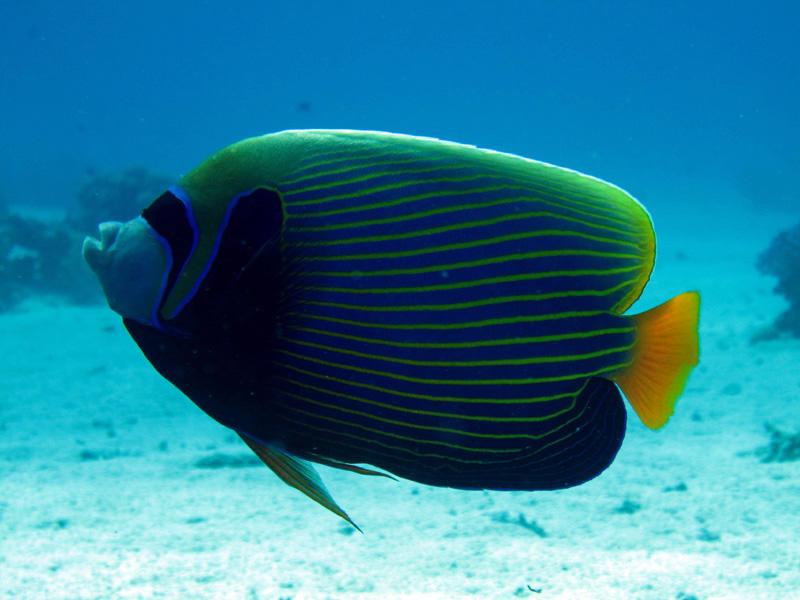 Keizervis   Emperor angelfish   Promacanthus imperator   Ben el Gebel   26-06-2010