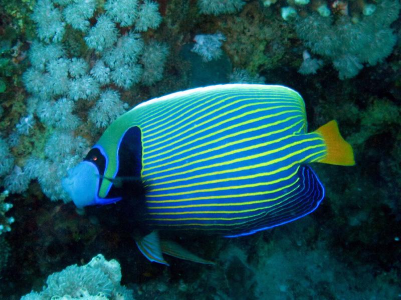 Keizervis | Emperor angelfish | Promacanthus imperator | Gota Abu Ramada Oost | 23-09-2009