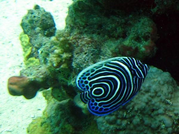 Keizervis (juv) | Emperor angelfish | Promacanthus imperator | Fanadir Zuid | 24-06-2010