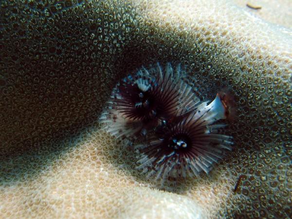 Kerstboomkokerworm | Christmas tree worm | Spirobranchus giganteus | Gota Abu Ramada Oost | 26-03-2010