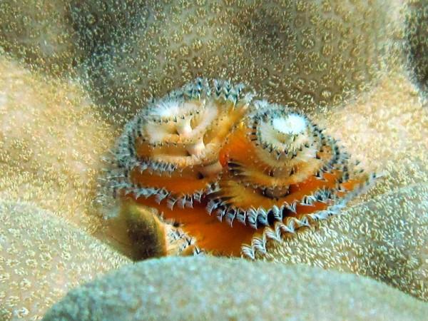 Kerstboomkokerworm   Christmas tree worm   Spirobranchus giganteus   Shaab Sabina   21-03-2010
