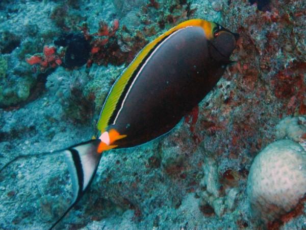 Koekop | Orangespine unicornfish | Naso elegans | Gota Abu Ramada Oost | 23-09-2009